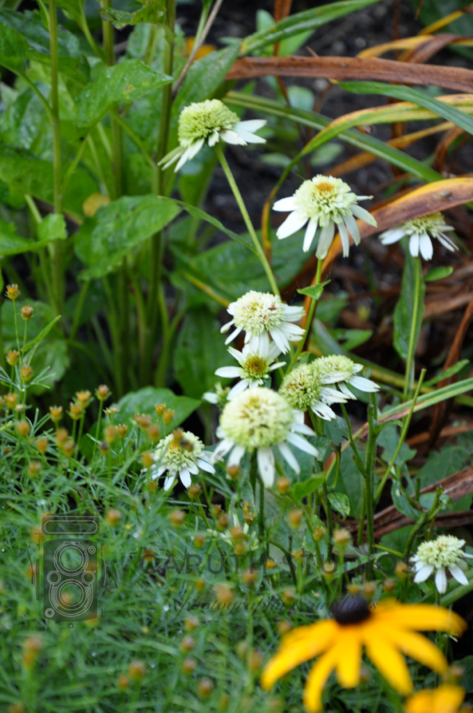 Double-white coneflowers